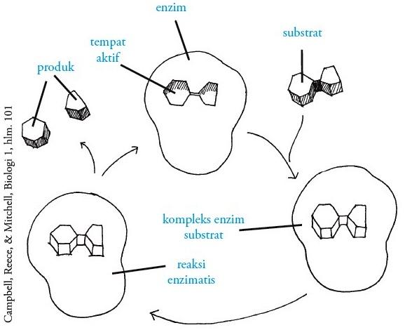 Gambar 1.1. Prinsif kerja enzim menurut teori gembok-kunci.