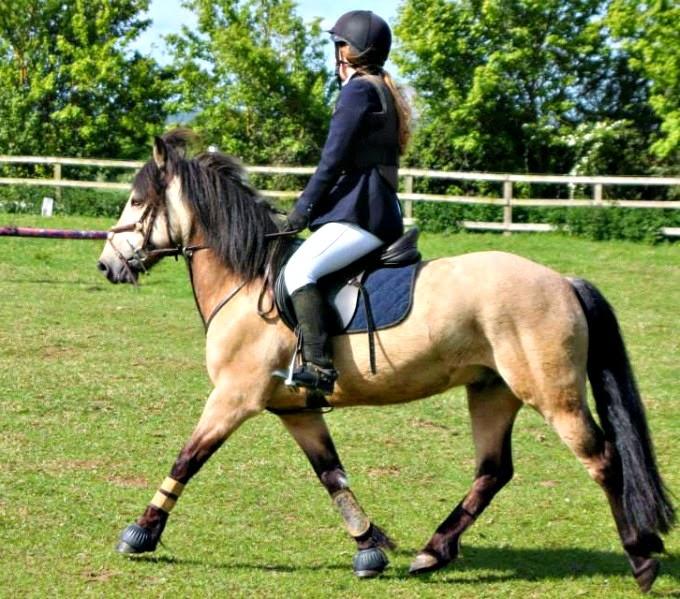 Trotting Connemara Pony