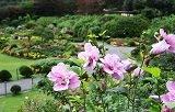 เทศกาลดอกมูกุงฮวา ที่ The Garden of Morning Calm