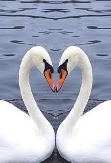 نشوة وادمان الحب.. تضاهي نشوة الكوكايين - بجع - بجعة - رومانسية حب - swan