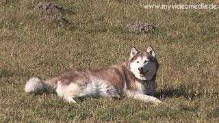 Husky in Zuers - Vorarlber