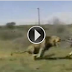 Live Attack of Lion on Safari Hunter
