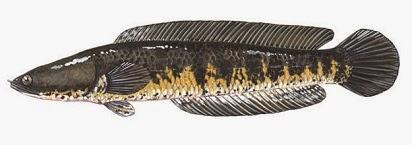 Umpan Jitu Mancing Ikan Gurame  Source URL: http://umpanmancingikan.blogspot.com/2014/11/umpan-jitu-mancing-ikan-gurame.html Visit Umpan Mancing, ikan, jitu