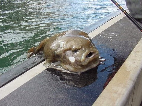 Funny Blobfish Pictures | Funny Animals