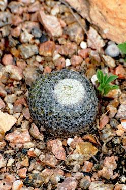 Button Cactus Epithelantha micromeris