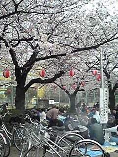 FIESTA DEL CEREZO EN JAPON