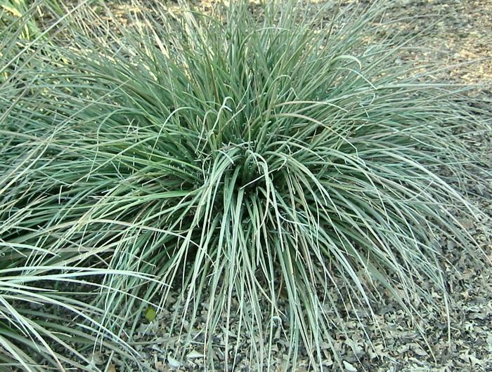 Plantas y flores yucca parviflora - Yucca elephantipes cuidados ...