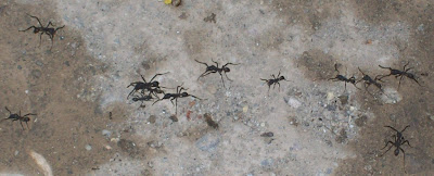 army ants antbirds
