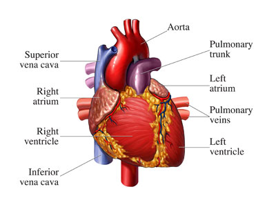 human+heart+diagram+with+