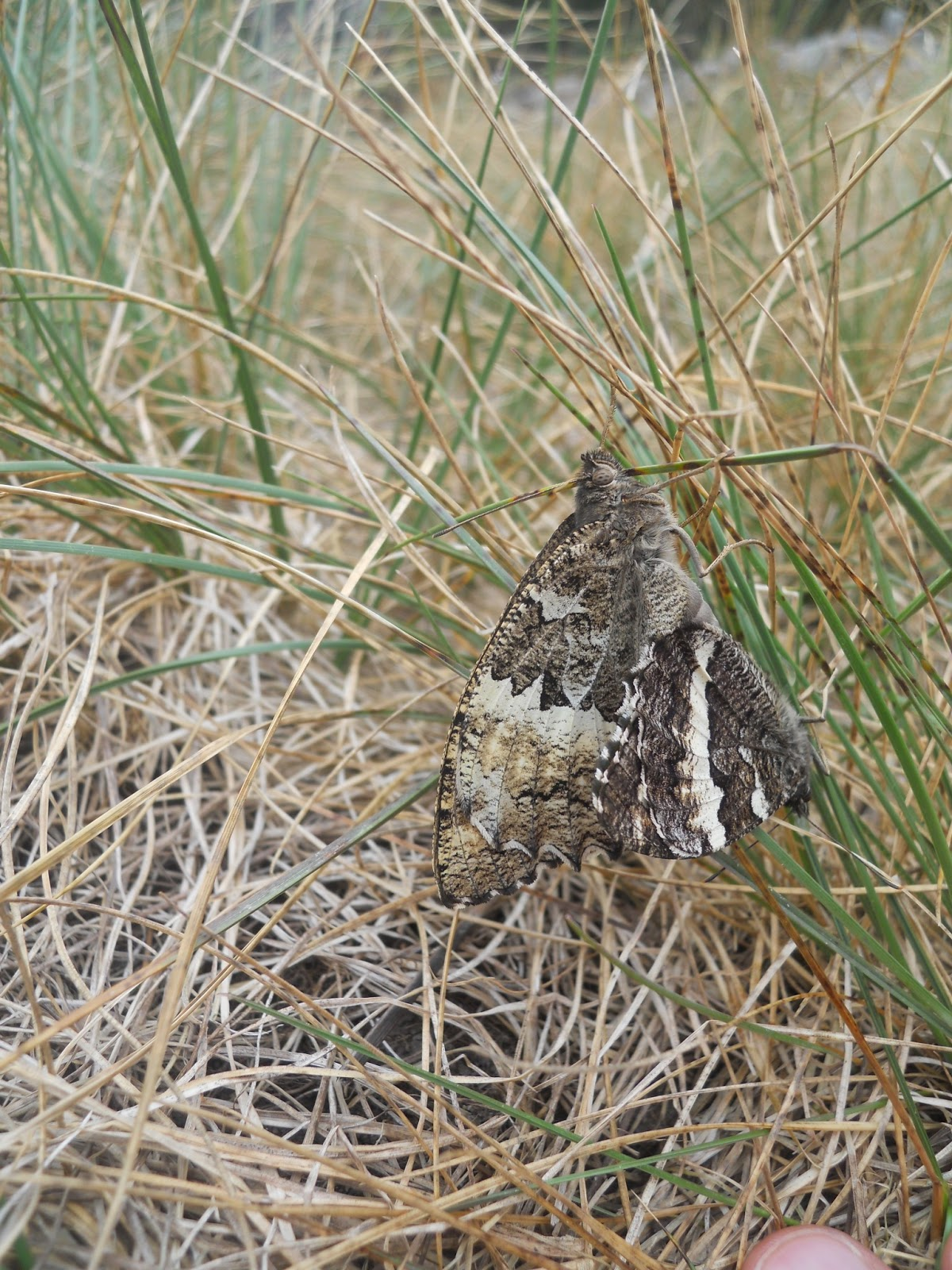 Mariposa Brintesia circe