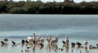 Pelikane J.N. Ding Darling Park, Sanibel Island
