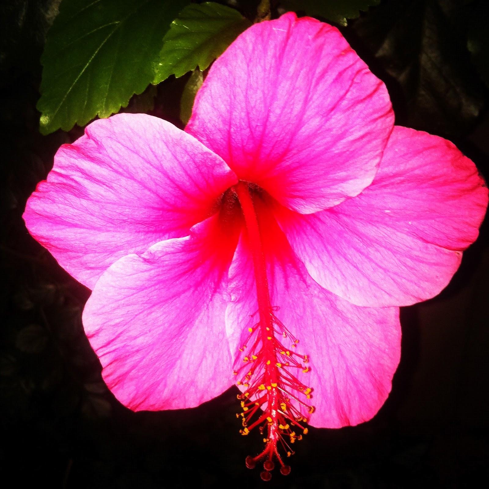 Image Gallery Hawaiian State Flower