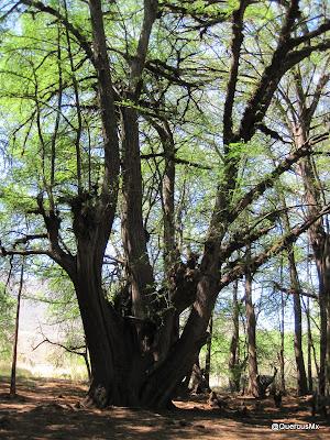 Ahuahuete en la Cañada: Patrimonio de la humanidad