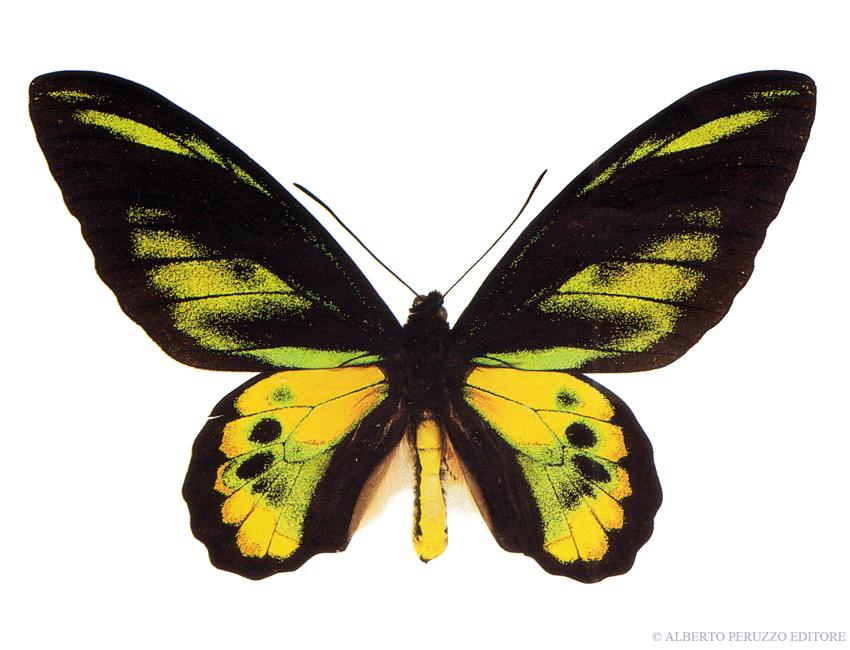 Universo dei lepidotteri 45 trogonoptera brookiana - Colorazione dei bruchi ...