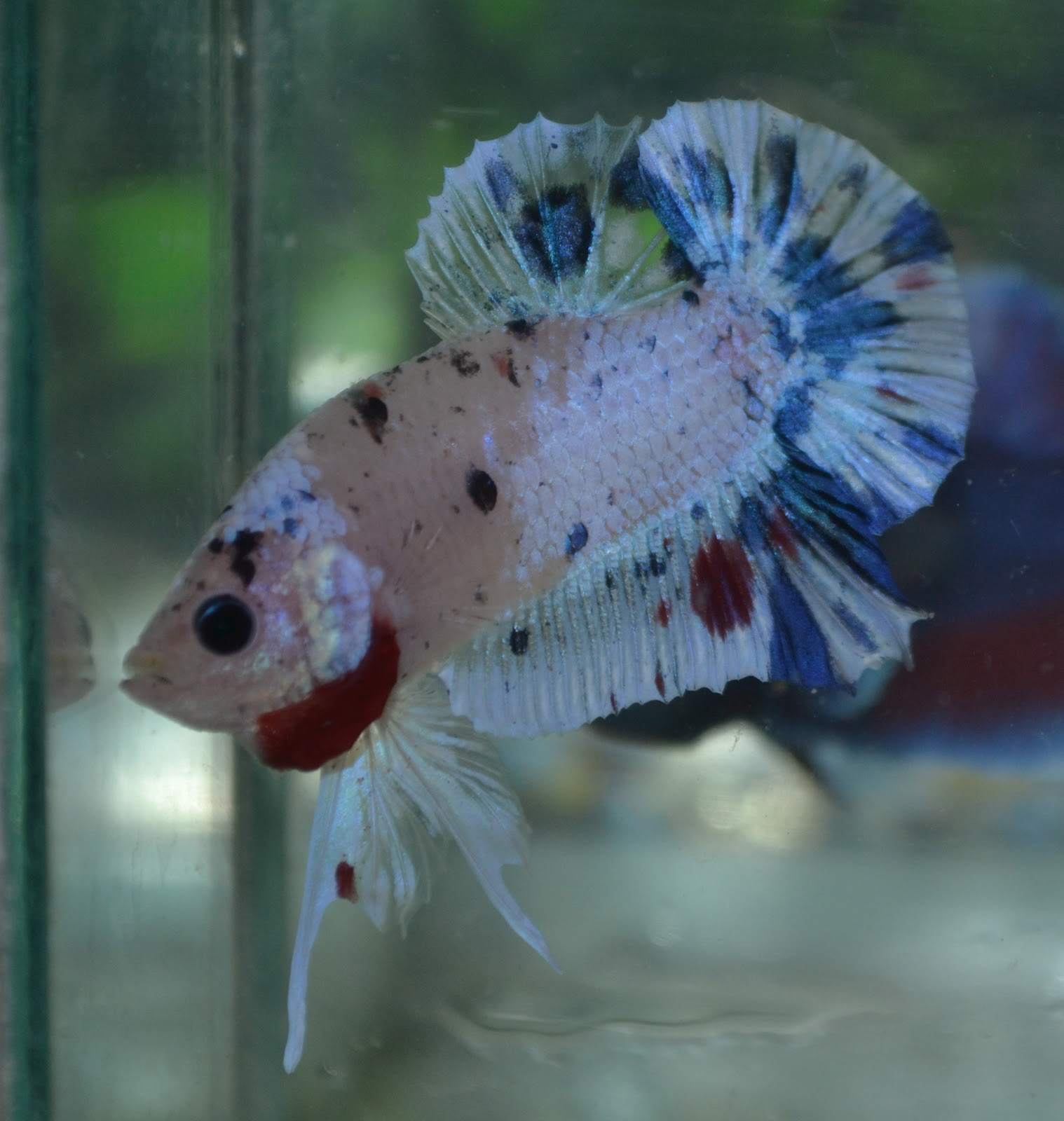 Betta fish afira betta hmpk 27 aug 2012 free pos for Fancy koi fish