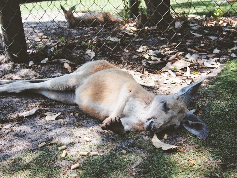 perth zoo kangaroo