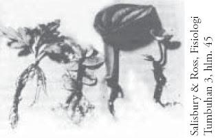 Pertumbuhan akar stek auksin