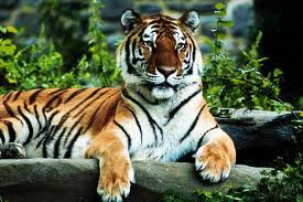 Tigers picture