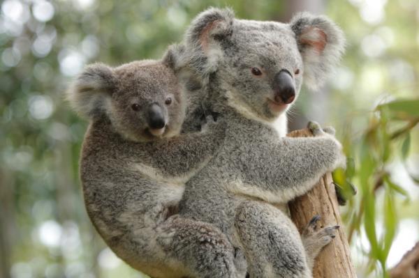 Koala Animal Wildlife