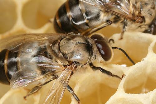 Eco curiosidades: Abelhas sempre morrem depois da ferroada