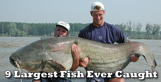 Donz network 9 largest fish ever caught by a human for What is the biggest fish ever caught