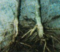 Layu bakteri ( Pseudomonas solanacearum )