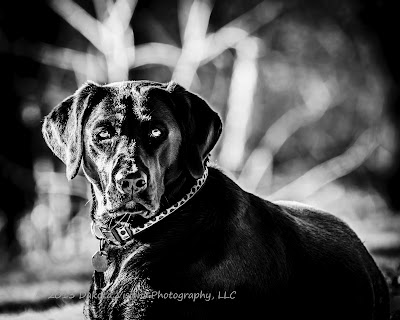 Black Lab in B&W by Dakota Visions Photography LLC www.dakotavisions.com