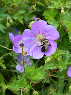 Geranium Rozanne Cranesbill Toronto Botanical Garden by garden muses-not another Toronto gardening blog