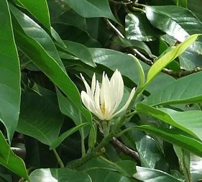Hoa ngọc lan 01