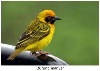 Ciri Burung Cikrak Daun Jantan Dan Betina Natural Therapy