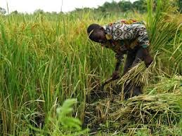 http://www.ibtimes.co.uk/solution-world-hunger-scientists-sequence-genome-african-rice-solve-nine-billion-people-1458795