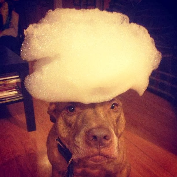 Scout the pit bull balances stuff on his head (30 pics), stuff on Scout's head, scout and bubble soap