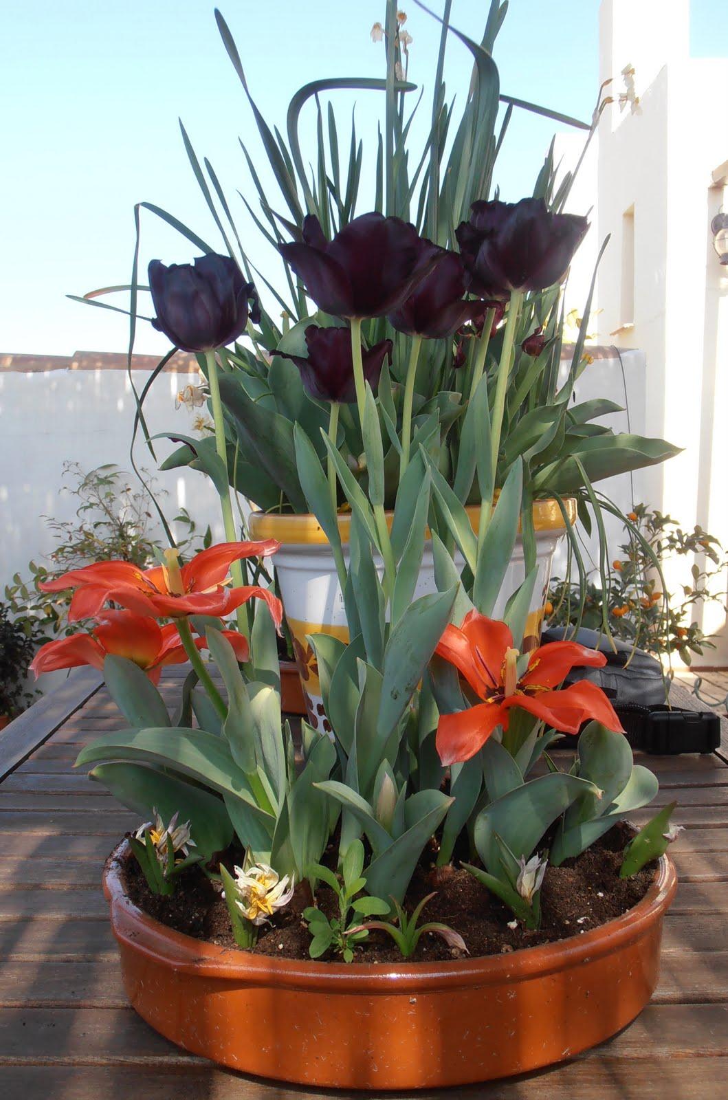 En macetas sembrando bulbos de primavera - Bulbos de otono ...
