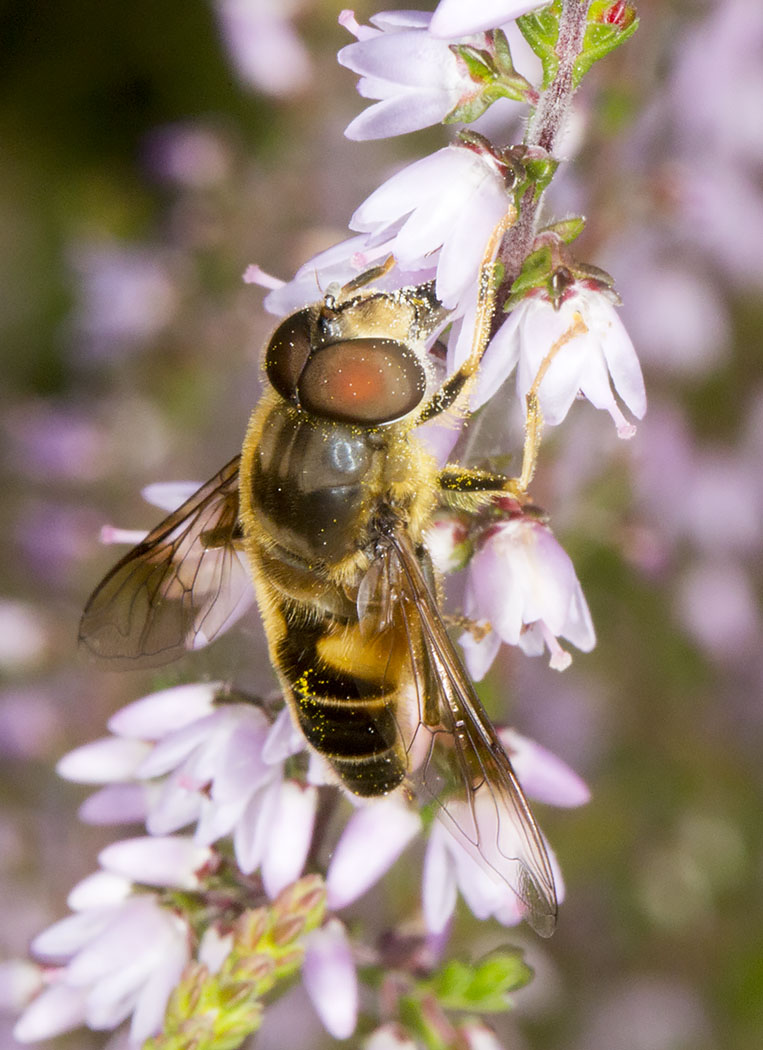 Hoverfly, Eristalis pertinax, on Ling, Calluna vulgaris.  Male.  St Paul's Cray Common, 30 July 2014.