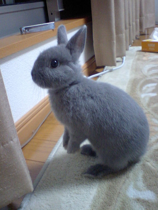 netherland dwarf rabbits: what can you use as bedding for your