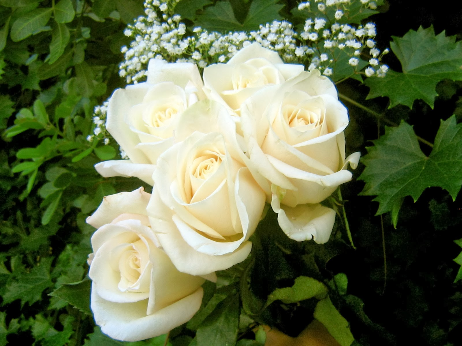 Beautiful White Roses Flower Wallpapers