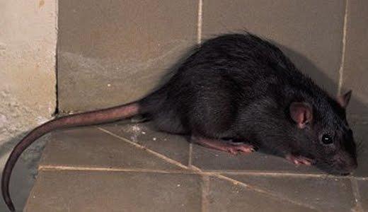 Que significa soñar con rata