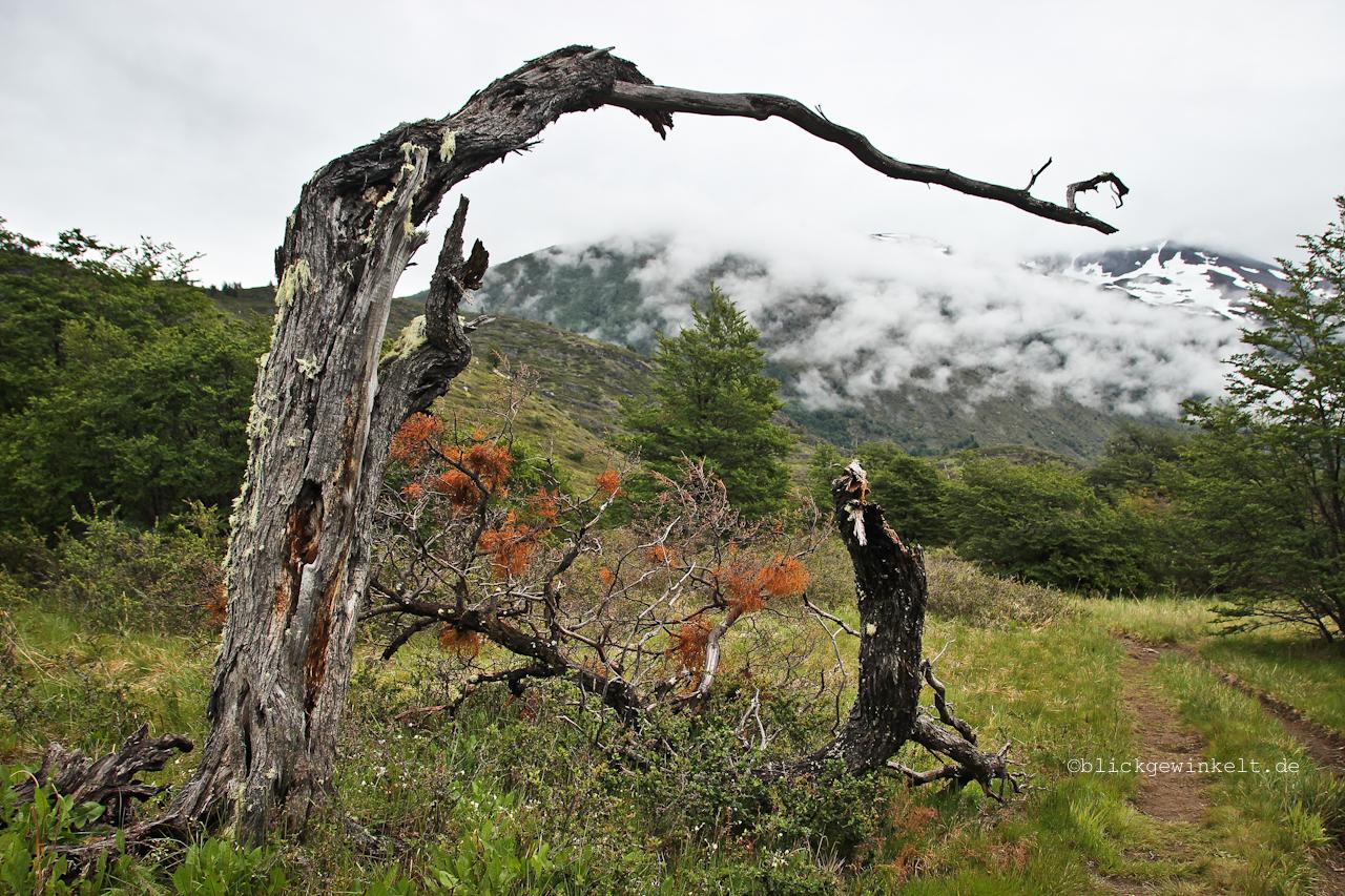 Totholz, Südbuche, Torres del Paine