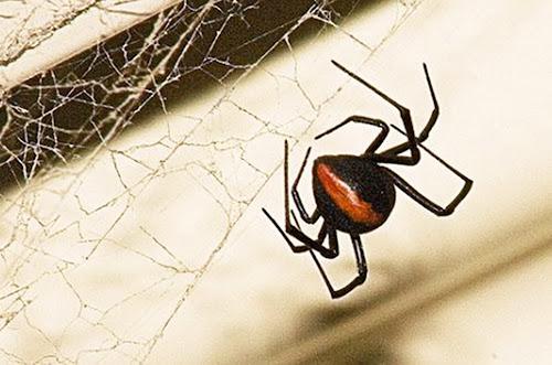 quinta aranha mais nenenosa do mundo