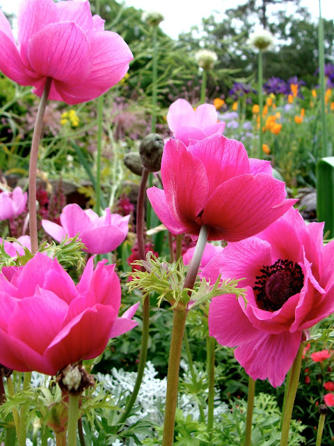 Pink Anemones in Field of Flowers ~ Photo by ChatterBlossom