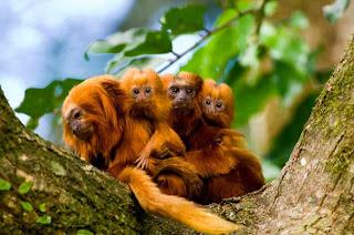 casal de mico-leões-dourados e filhotes