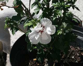 Hibiscus blooming once again