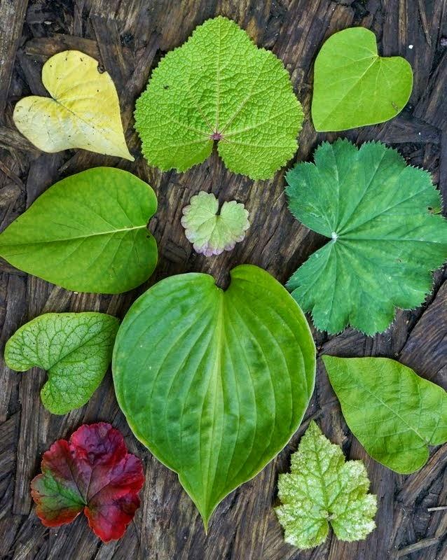 Hjerteformede blade