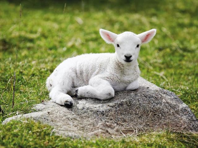 "<img src=""http://1.bp.blogspot.com/-oeBj0kp-6yU/UrAitObpJMI/AAAAAAAAF3w/JZX1Sol_hkc/s1600/644.jpeg"" alt=""Sheep Animal wallpapers"" />"