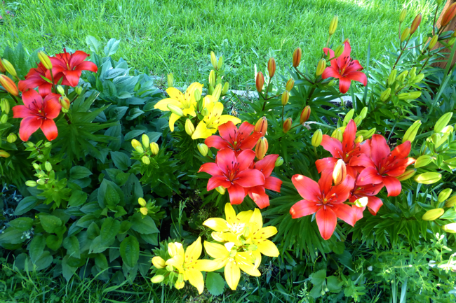 lilies, lily, red lily, red lilies, yellow lily, yellow lilies, garden