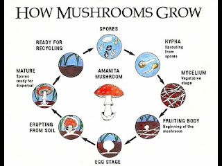 A short diagram on the different stages of mushroom growth.