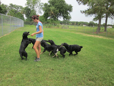 Picture of a group of black dogs (5) - running with a trainer, Rudy is the dog on the far left... on 2 feet! (if you view the picture larger, you can see his 'brindle' markings on his face)