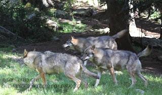 meute de loup gris alpha mercantour