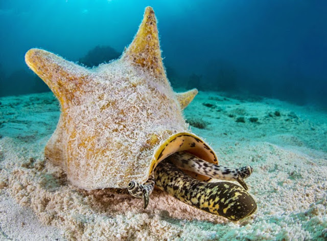 A queen conch (Strombus gigas)
