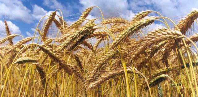 El mundo del hombre y el cultivo de trigo